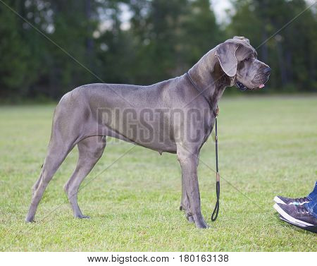 Purebred Great Dane standing next to a person in a wheelchair