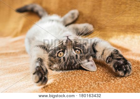 Small playful kitty at home lying on the couch.