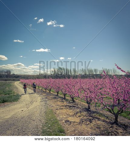 Two cyclists on the road and blossoming peach tree in Aitona, a beautiful town in Catalonia, Spain. Flowers sprout during the spring and the landscape is transformed. The fields flowered transmit sensations positive and of hope.