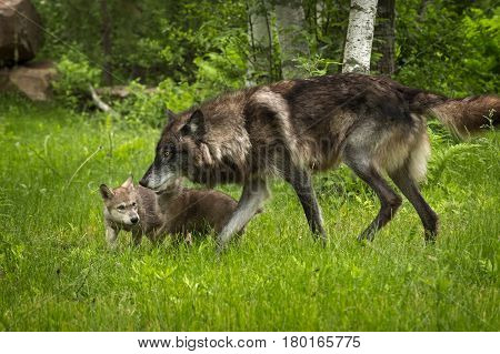 Black-Phase Grey Wolf (Canis lupus) and Pups - captive animals