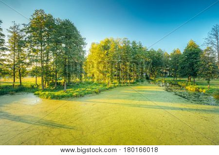 Landscape Of Summer Sunny Forest Woods And Wild Bog With Duckweed On Water Surface. Nature. Nobody. Blue Sky. Belarus, Russia