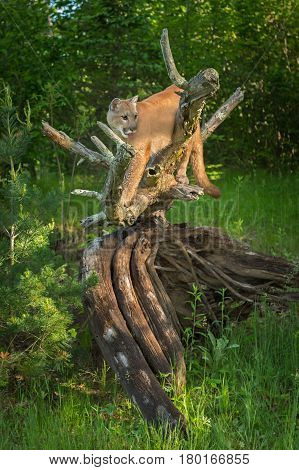 Adult Female Cougar (Puma concolor) Stands on Log Tongue Out - captive animal