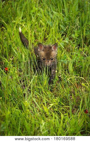 Red Fox (Vulpes vulpes) Kit Walks Through Grass - captive animal