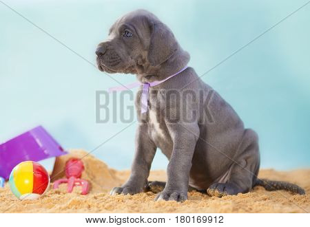Great Dane puppy that is four weeks old waiting on the sand