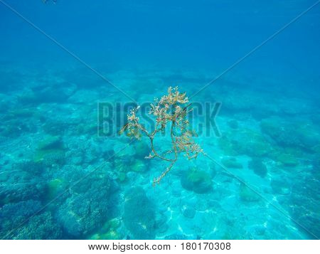 Sea water and plant. Oceanic environment underwater photo. Shallow waters seaweed and coral reef formation. Undersea scenery with corals. Exotic wild nature. Tropical sea lagoon image. Snorkeling spot