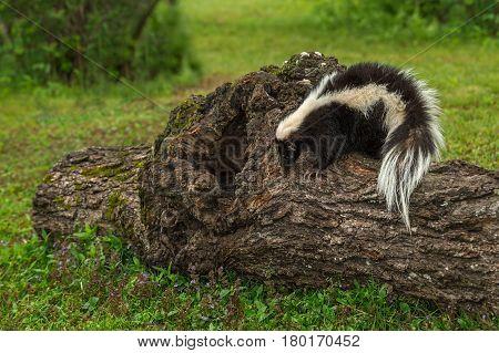Striped Skunk (Mephitis mephitis) Looks Down Side of Log - captive animal