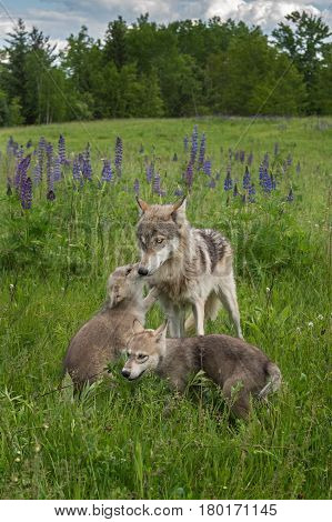 Grey Wolf (Canis lupus) Pup Greets Yearling - captive animals