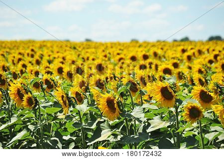 Beautiful landscape with sunflower (Helianthus) field and bright sun lights