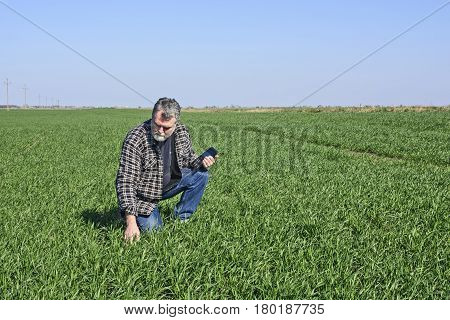 Farmer in a field sown with wheat checks the quality of the plants.
