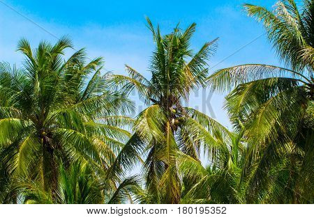 Green coco palm leaves on blue sky background. Coco palms and blue sky photo with sun flare. Tropical paradise banner template. Beautiful tropic nature in sunny weather. Exotic island holiday travel