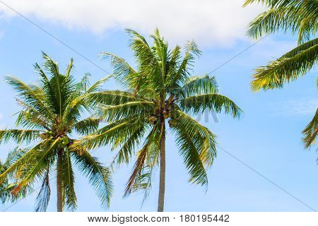 Green coco palm leaves on blue sky background. Palm tree and blue sky optimistic photo. Tropical paradise banner template. Coconut palm trees with beautiful leaves. Exotic island seaside holiday