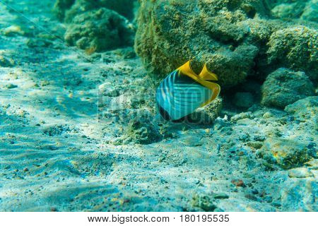 Sergeant Major Fish In Coral Sea