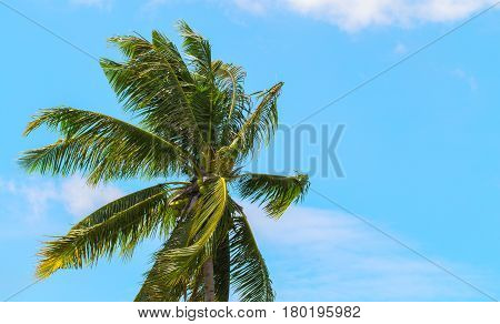 Green coco palm leaves on blue sky background. Palm tree and bright blue sky photo. Sunny tropical paradise banner template. Coconut palm tree crown with beautiful leaves. Exotic island holiday scene