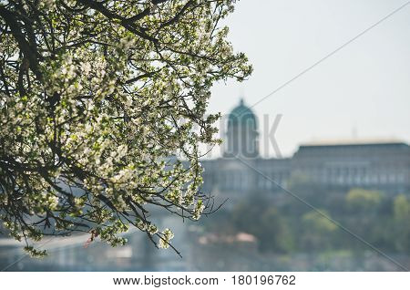 Blooming tree at Danube Pest embankment in Budapest, Buda castle at background on sunny spring day