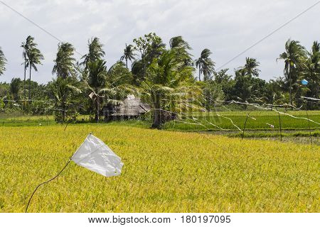 Rice fields with white flag as scarecrow. Coco palm trees. Tropical nature horizontal photo. Traditional rice growing in Asian country. Agriculture field. Green grass field image. Exotic island scene