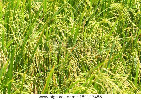 Rice fields macro photo with rice cob and stem. Rice plant closeup. Tropical nature travel photo. Traditional rice growing. Agriculture field. Green grass field image. Exotic island countryside