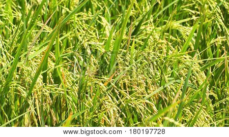 Rice fields closeup photo with rice cob and stem. Rice plant close-up. Tropical nature travel photo. Traditional rice growing. Agriculture field. Green grass field image. Exotic island countryside