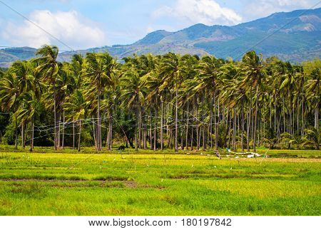 Sunny rice fields with palm tree forest and mountain. Tropical nature horizontal photo. Traditional rice growing in Asian country. Agriculture field. Green grass field image. Exotic island countryside