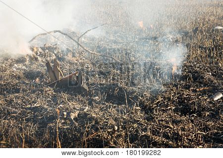 Background With Burnt Grass Ashes. Plant Ash On The Field After The Fire Burned.
