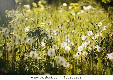 field many dandelions backlit at sunset background,