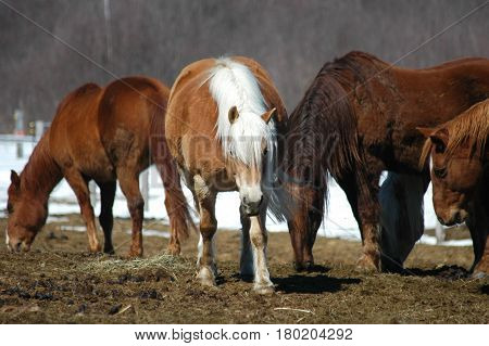 horses walking eating  hay snow standing  brown