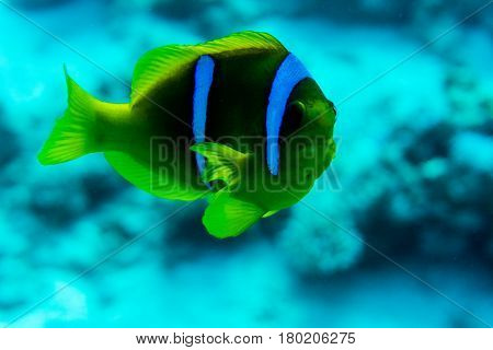 Fish And Coral: Red Sea Raccoon Butterflyfishes On A Coral Reef