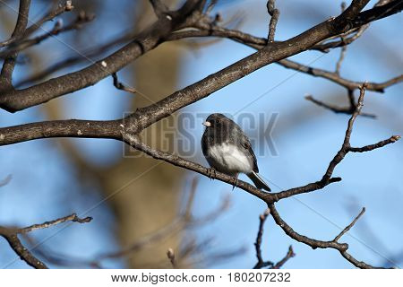 A Dark-Eyed Junco (Slate-Colored) perches on a tree branch. These sparrows migrate to Iowa for the winter and head back north in mid-April.