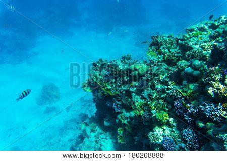 Stingray On Coral Reaf Of Sharm El Sheih