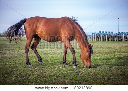Brown Horse Grazing Green Grass On The Territory Of The Racetrack