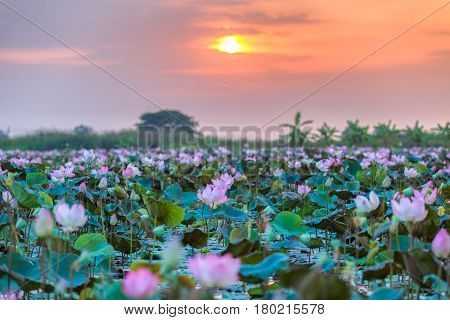 Sea of pink and red lotus at Ayutthaya Thailand (unseen in Thailand)