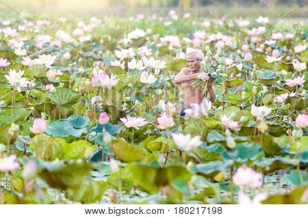 Old man thai farmer grow lotus in the season. They were soaked with water and mud to be prepared for harvest to sell