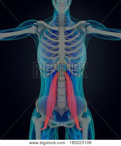 Female psoas muscle. Soul muscle. Human anatomy muscular system. 3d illustration.
