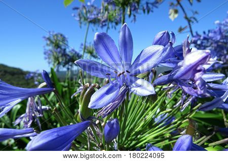 Purple blue Agapanthus flowers against a blue Australian sky