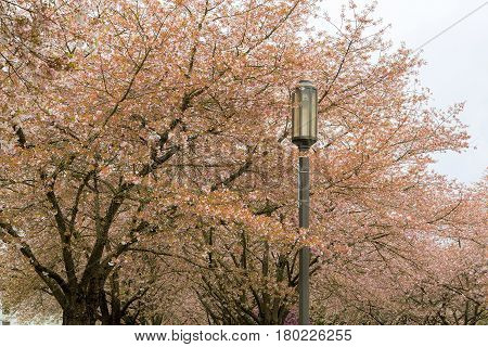 Cherry Blossom trees and street lamp post in downtown Salem Oregon