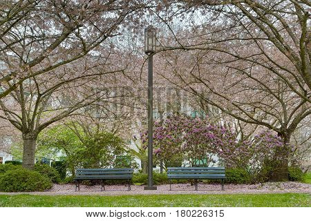 Cherry Blossom Trees by park benches and lamp posts in downtown park in Salem Oregon during spring season