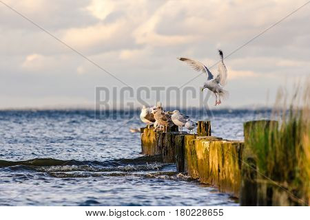 Gull in Sunlight on the baltic see