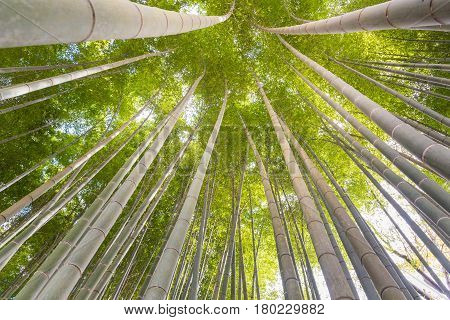 The Uprisen Angle Of Bamboo Forest With Glorious Morning Sunshine In Kyoto,japan