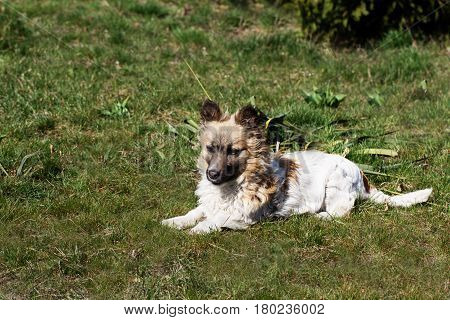 Fluffy small dog is lying on a green grass. little dog in the spring time