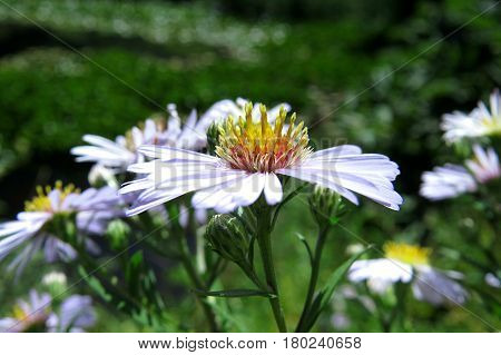 White daisy flowers growing near a field meadow Asteraceae
