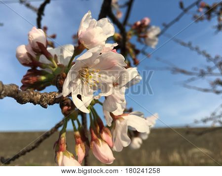 Japanese famous cherry blossom