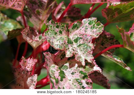 Beautiful tree shrub leaves spot spotty green white red close-up