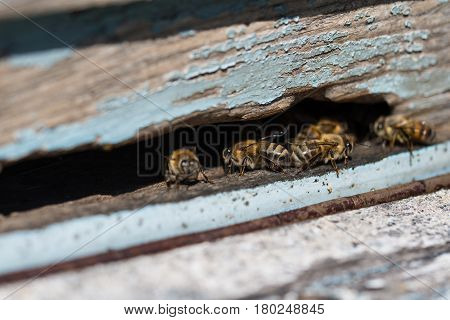 Plenty of bees at the entrance of beehive in apiary. Busy bees close up view of the working bees. Honeycomb in a wooden frame.