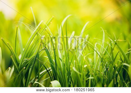 Fresh Green Grass Plant Background