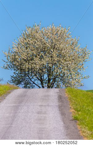Road And Spring Blooming Tree In Countryside