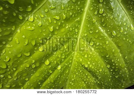 Texture of a green leaf with drops of water on the surface. Naturall wet green background.
