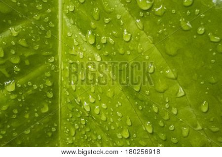 Texture of a green leaf with drops of water on the surface. Naturall background.