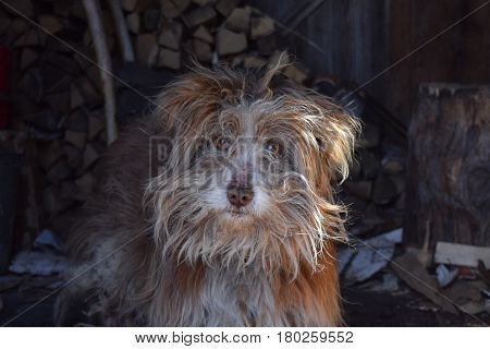 Old small shaggy mongrel dog with brown wool