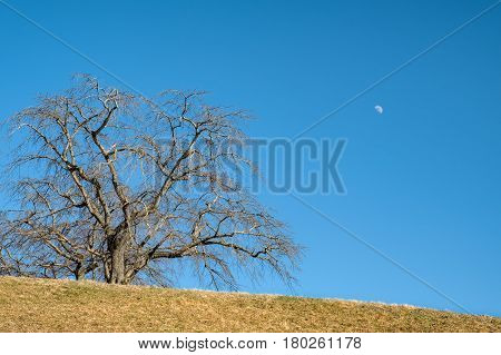 Elm tree on hill with blue sky and moon