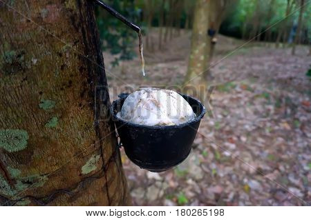Rubber tree plantation Thailand. How to extract rubber from the rubber tree.