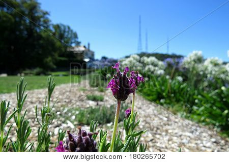 Purple lavender flower against a blue sky and countryside horizon Mount Lofty House
